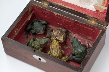 5 Victorian Frogs in a Box, taxidermy frogs, victorian box